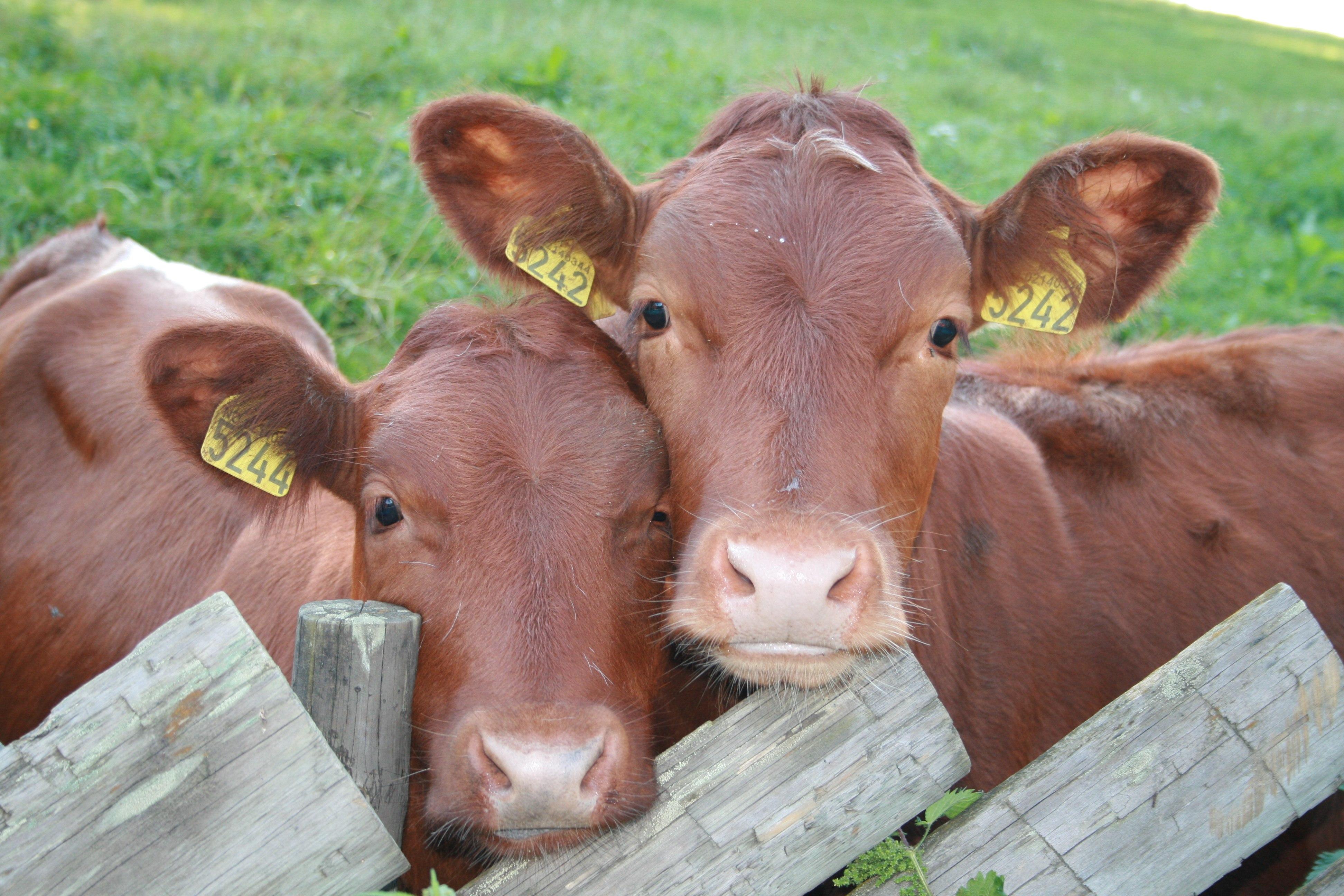 Cattle Farmer Salary and Job Description Interviews Career Options