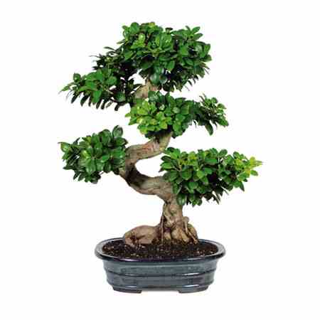bonsai tree bought bonsai tree